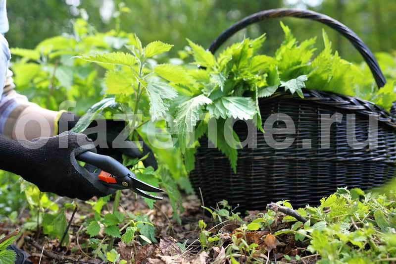 Удобрения из крапивы: простой способ приготовления