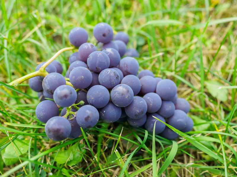 Полезные свойства ягод можжевельника: применение, рецепты