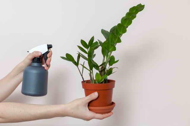 Замиокулькас (долларовое дерево) в доме: что сулят приметы