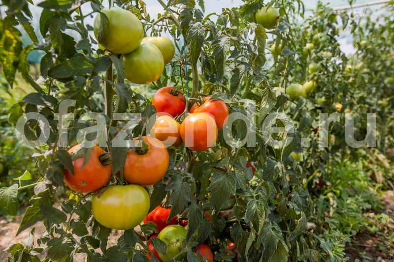 Главные советы по выращиванию помидор