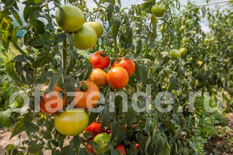 Чего может не хватить огурчикам и помидорчикам?