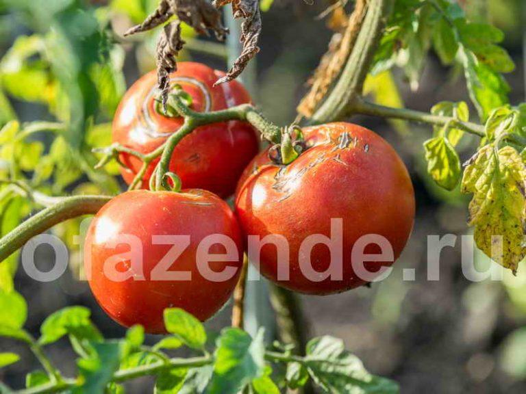 Чтобы томаты не трескались