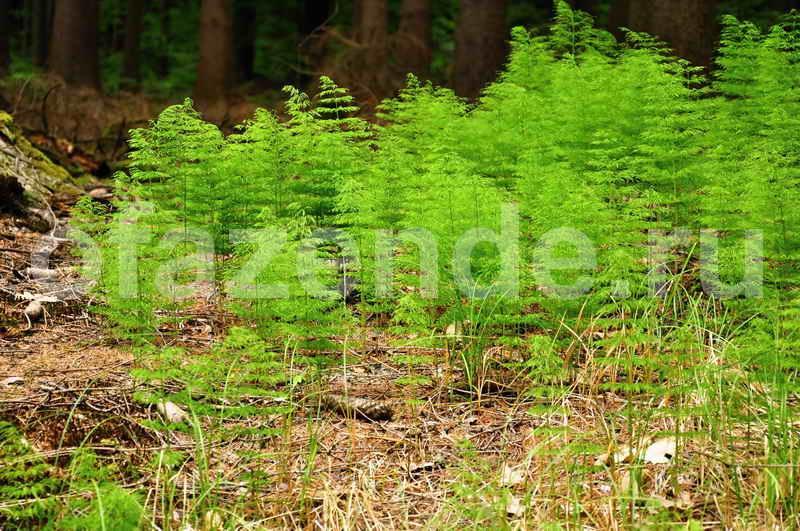 Хвощ: фото, виды, выращивание, лечебные свойства и противопоказания