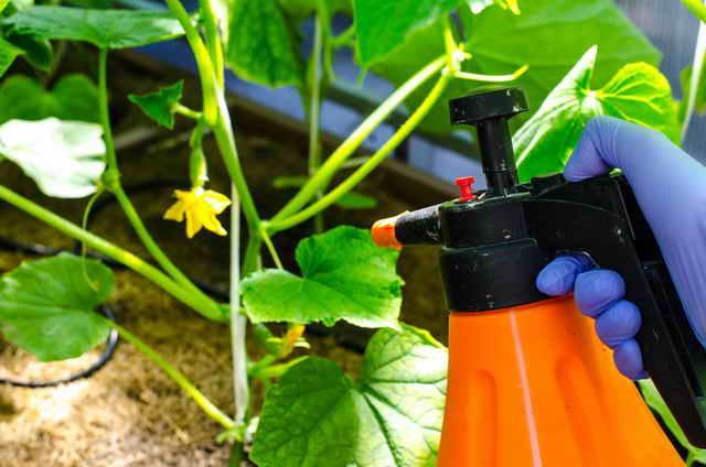 Это поможет продлить плодоношение огурцов в теплице