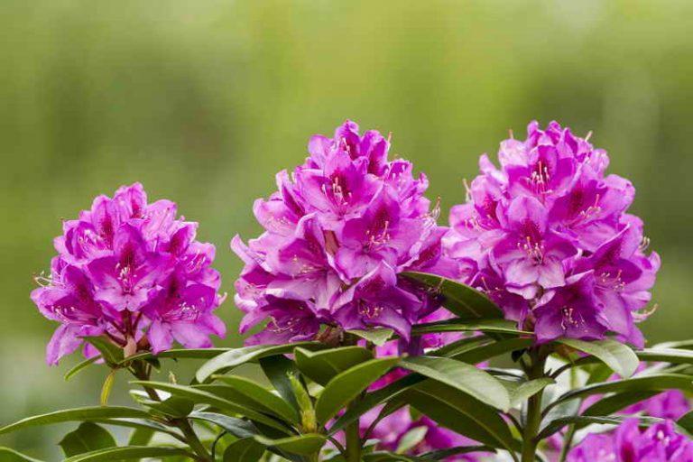 Рододендроны: полутень и кислая почва - советы садоводам