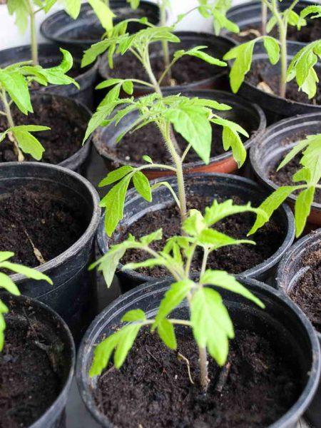 Желтеют листья у помидоров в теплице и открытом грунте: что делать?
