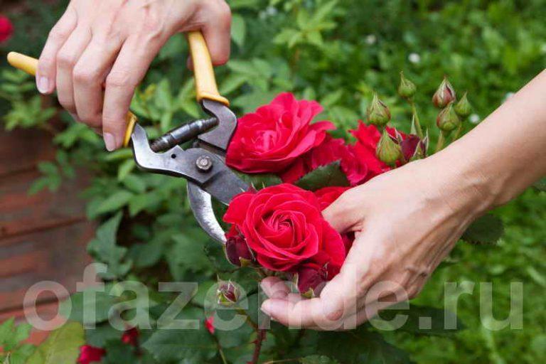Регулярная обрезка роз – залог их пышного цветения и хорошего роста новых побегов