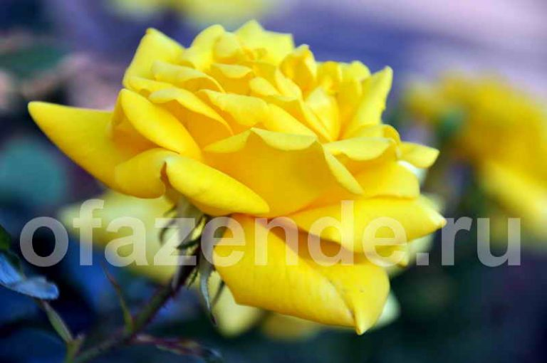 Как просто укрыть розы и пионы
