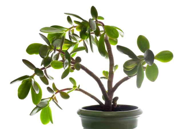 Почему толстянка (денежное дерево) медленно растёт и как ускорить