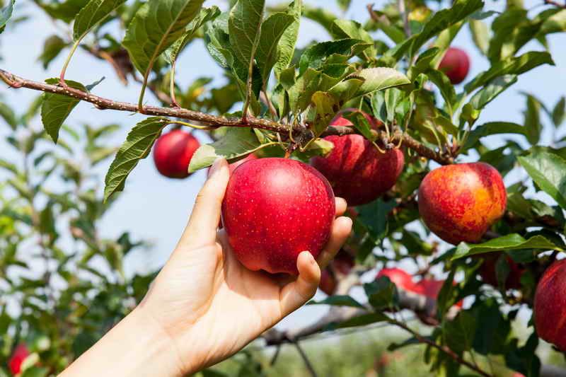 Как организовать грамотный уход за яблоньками, чтобы добиться высокого урожая