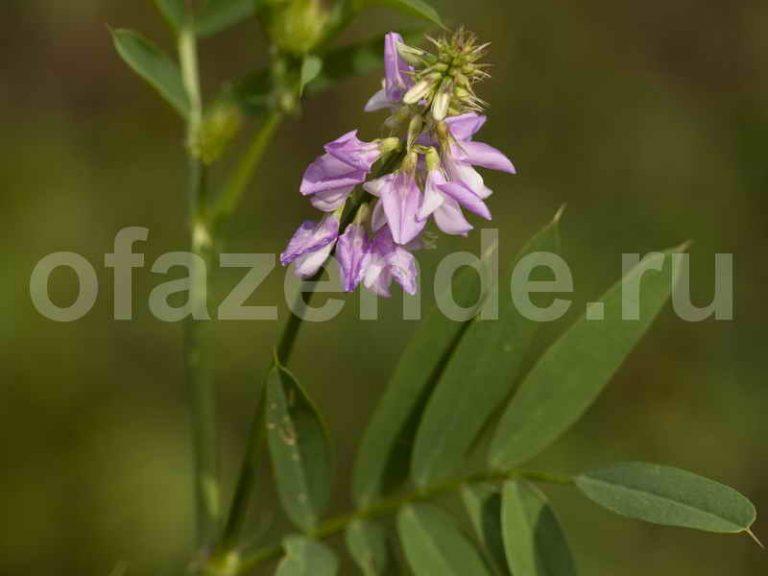 Солодка для Вашего сада: виды, описание и свойства