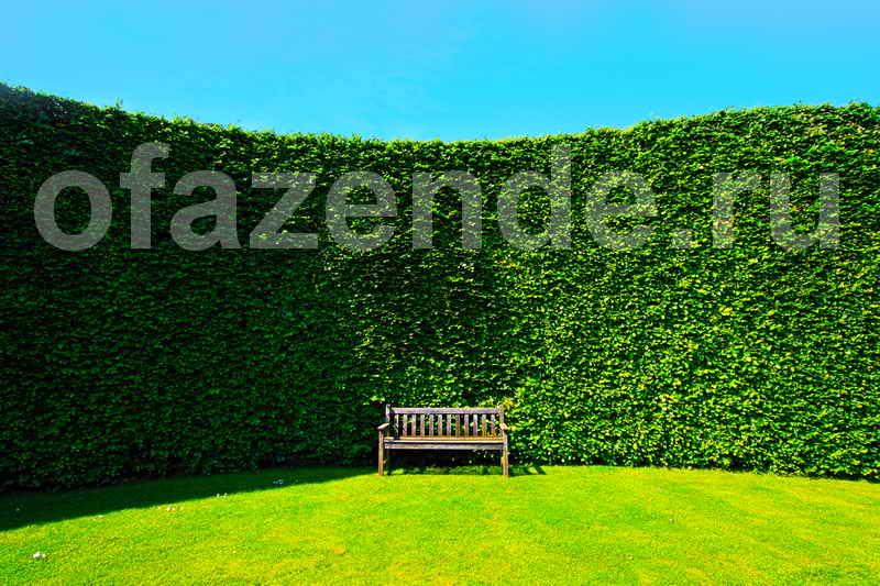 Живая изгородь на вашем участке: советы садоводам