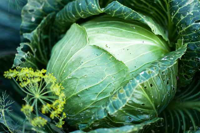 Особенности выращивания овощных культур (капуста, перец, огурцы)