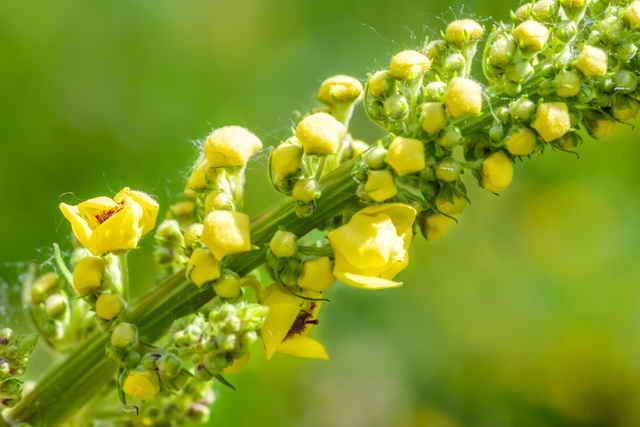 Коровяк для Вашего сада: виды, описание и секреты выращивания