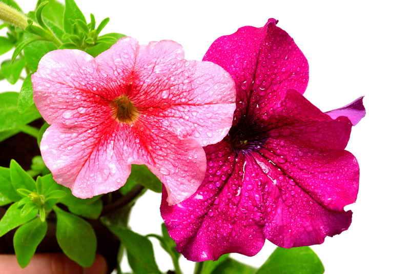 Прищипываем петунию для её шикарного цветения
