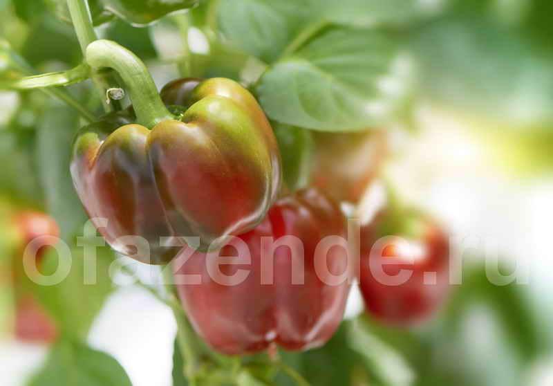 Выращиваем большие и вкусные перцы