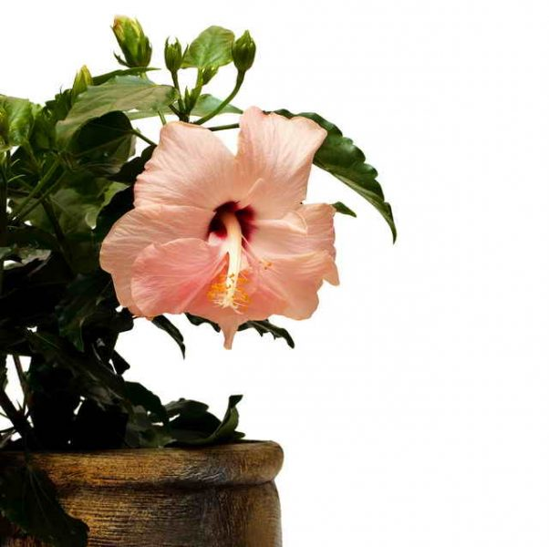 Гибискус (Китайская роза) не цветёт или даёт только пару бутонов. Как просто ей помочь!