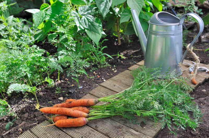Выращиваем свёклу и морковку сахарными