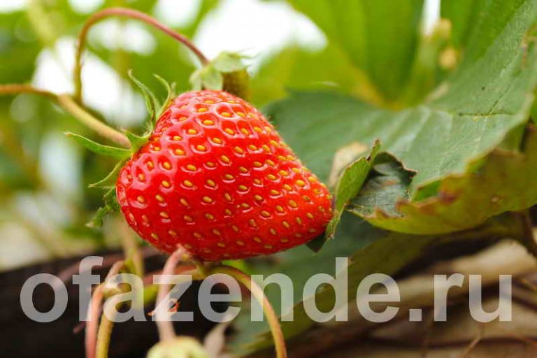 Десять особенностей выращивания клубники открытом грунте