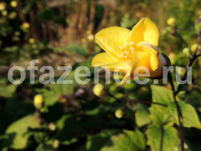 Киренгешома для Вашего сада: виды, описание и рекомендации по выращиванию