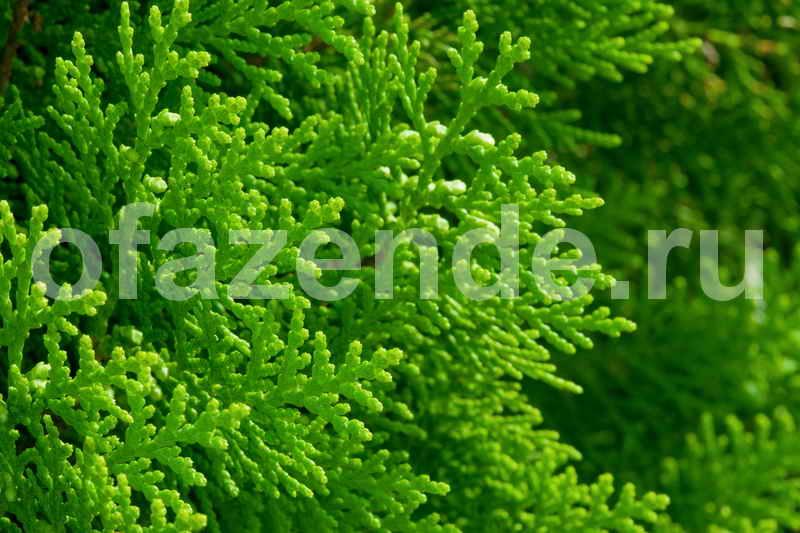 Купрессоципарис для Вашего сада: виды, описание, посадка и уход