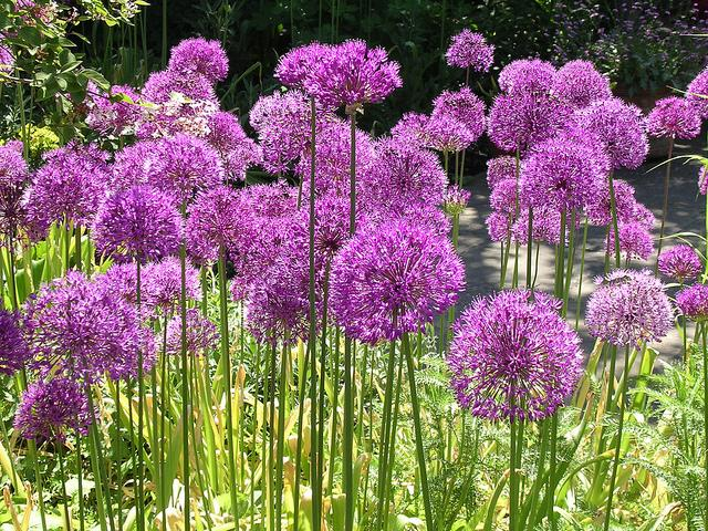Лук и чеснок: Все что нужно знать садоводам
