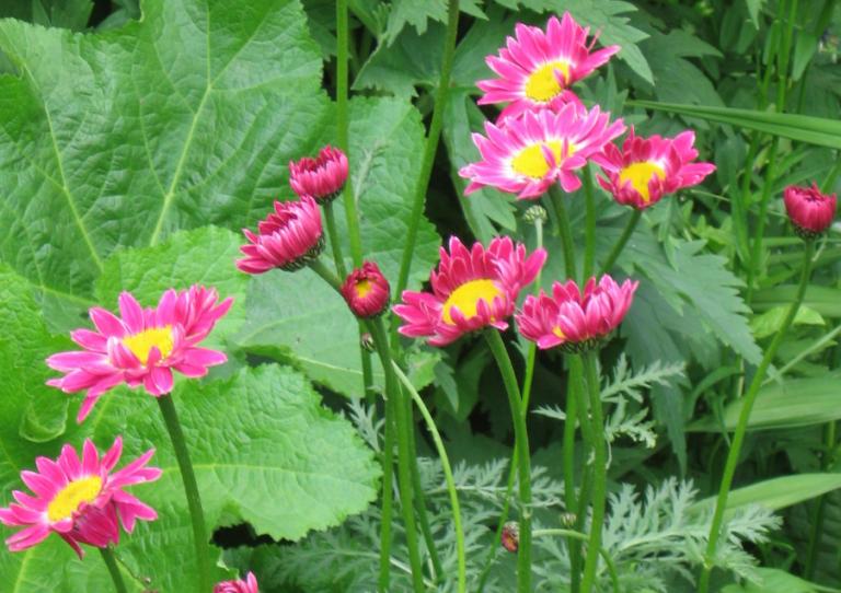 Пиретрум девичий для вашего сада: описание, виды и свойства