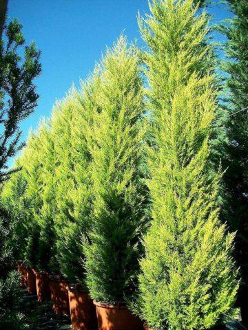 Кипарис для Вашего сада: виды и описание