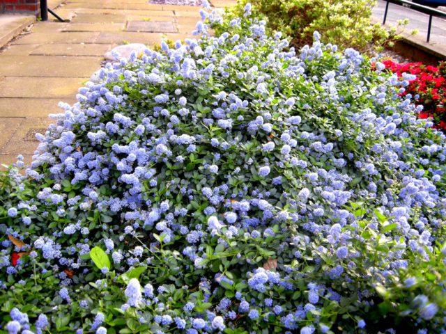 Цеанотус для Вашего сада: описание, виды и секреты выращивания