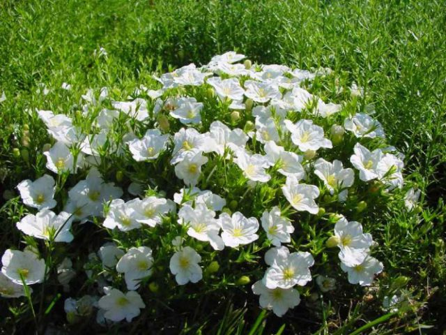 Нирембергия для Вашего сада: виды, описание, секреты посадки и ухода