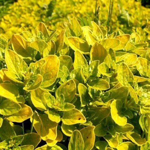 13 видов душицы для Вашего сада: раскрываем секреты выращивания
