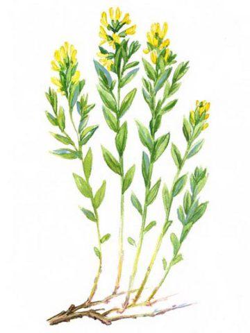 Дрок для Вашего сада: виды, описание и секреты выращивания