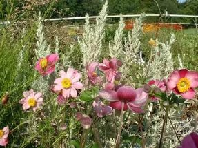 Клематисы для Вашего сада: Описание, виды и секреты выращивания
