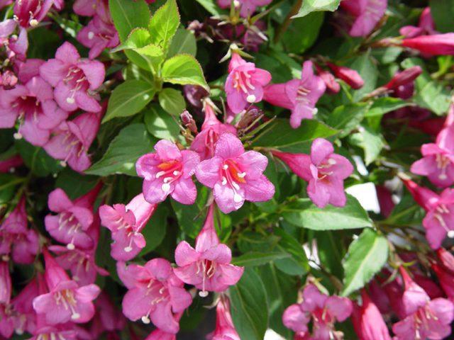 Вейгела: виды, выращивание, посадка и уход в открытом грунте