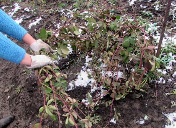 Ежевика для Вашего сада: виды, описание и выращивание