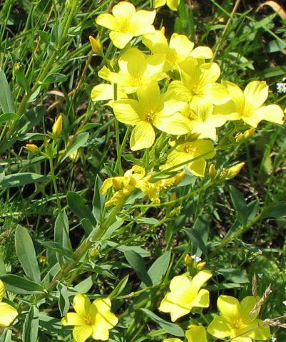 Лен: виды, описание, секреты выращивания