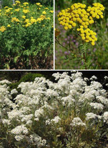 Несколько сортов пижмы для вашего сада: описание и свойства