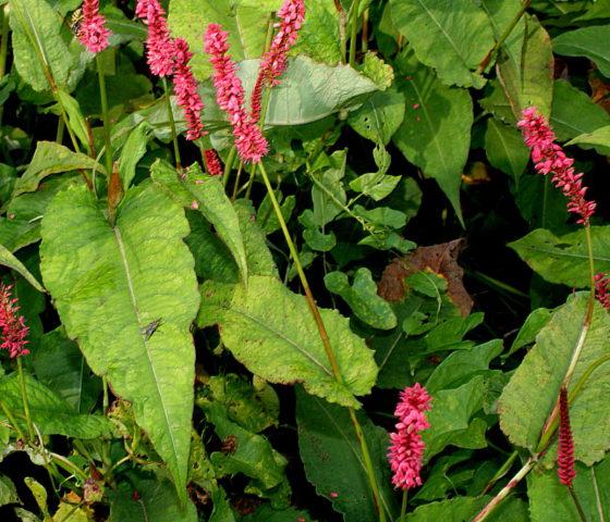 Персикария для Вашего сада: виды, описание и секреты выращивания