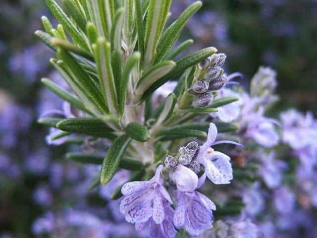 6 видов Розмарина для вашего сада: Описание и секреты выращивания