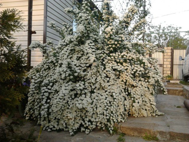 Спирея для Вашего сада: виды и описание