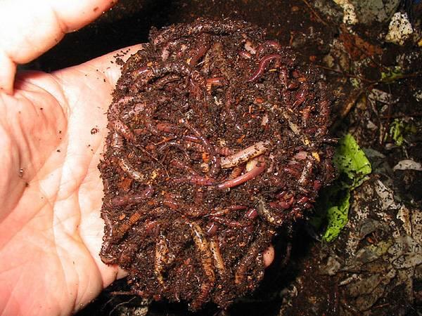 Как развести червей для рыбалки в огороде на даче или дома
