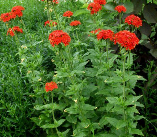 Лихнис (Зорька) для Вашего сада: виды и описание