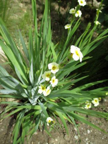 Сизиринхиум: виды и описание
