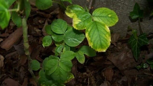 Чем лечить пятнистость на листьях розы?