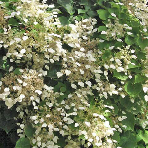 Схизофрагма (Шизофрагма) для Вашего сада: виды и описание
