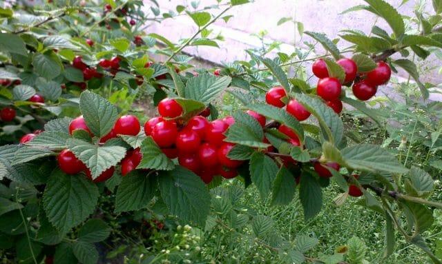 Войлочная вишня: фото и подробное описание войлочной вишни