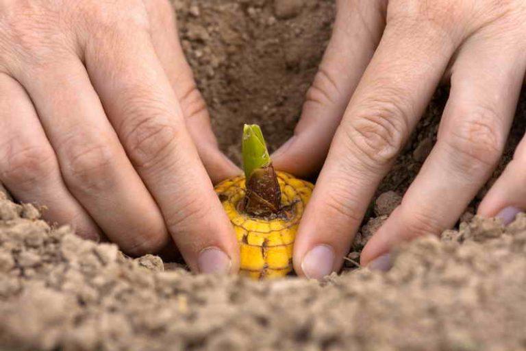 Выращиваем гладиолусы по правилам