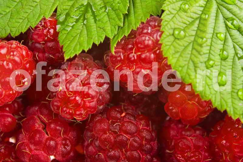 Способ, который позволит увеличить урожай малины, смородины и крыжовника