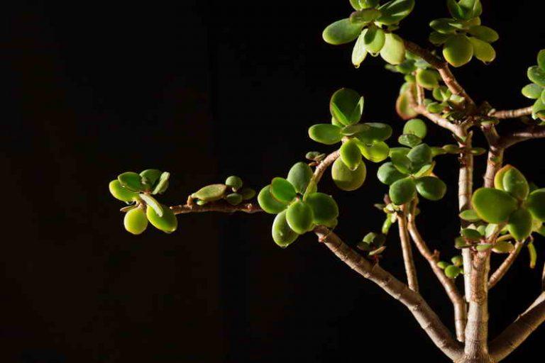 Когда цветёт денежное дерево и как заставить