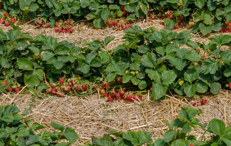 Обработка клубники весной: советы садоводам